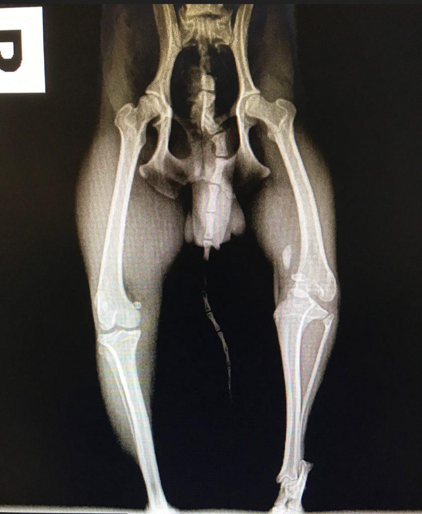 Broken leg canine